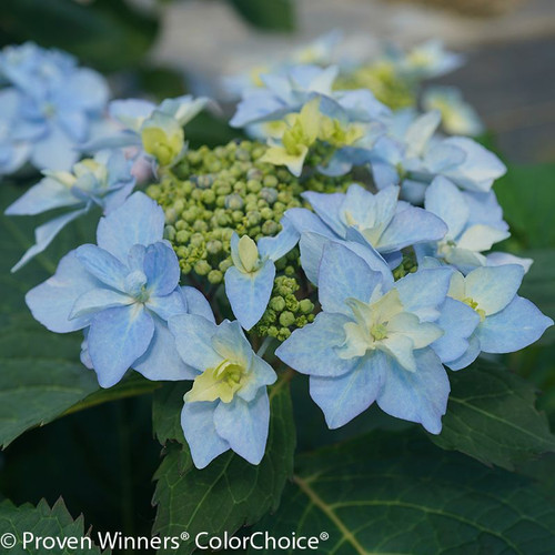 Blue Tuff Stuff Ah Ha Hydrangea Flower