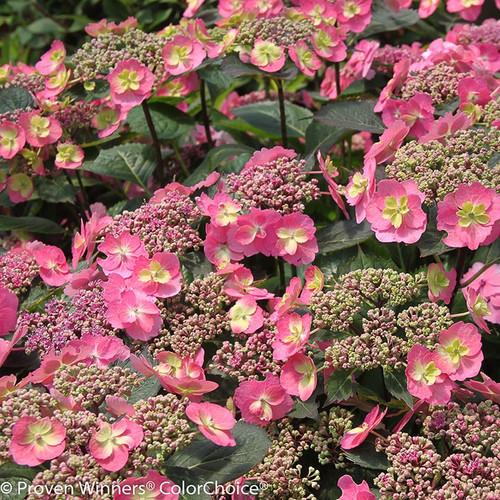 Red Tuff Stuff Hydrangea Flowers