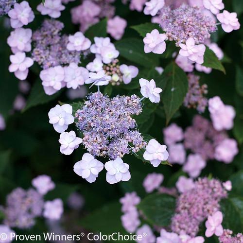 Purple Tiny Tuff Stuff Hydrangea Flowers