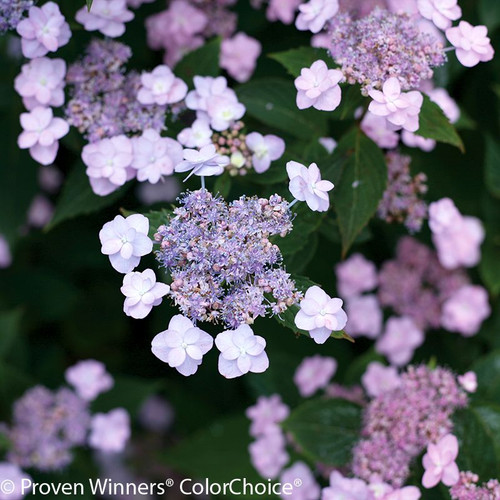 Purple Tiny Tuff Stuff Hydrangea Flowers