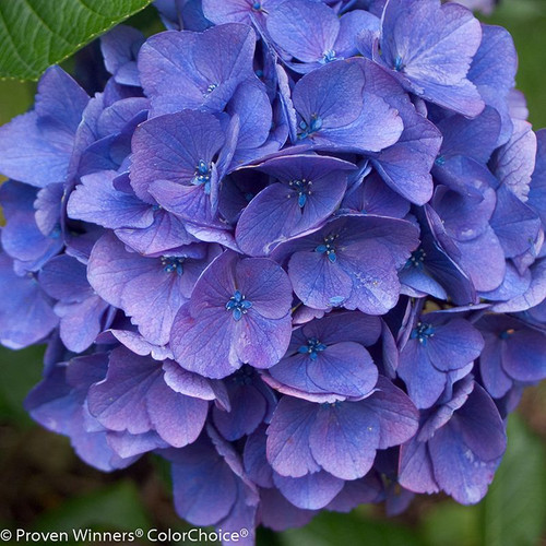 Blue Cityline Vienna Hydrangea Flower
