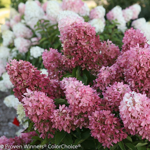 Pink and White Zinfin Doll Hydrangea Flowers