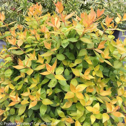 Funshine Abelia Foliage
