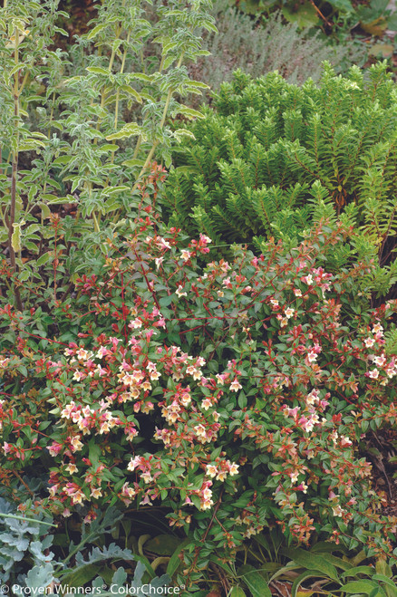 Sunny Anniversary Abelia Shrubs Plant Addicts