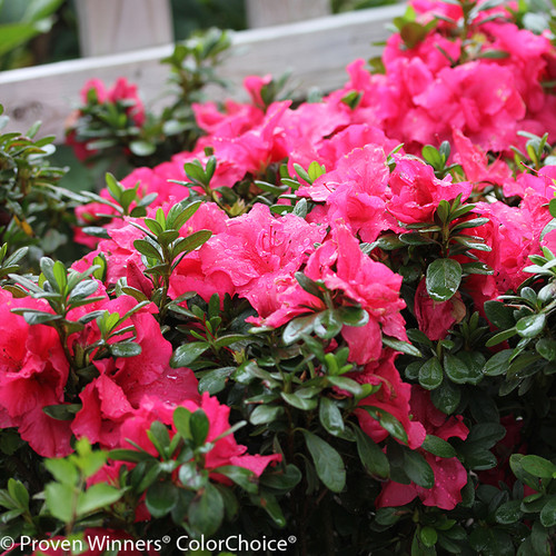 Bloom-A-Thon Hot Pink Azalea Foliage and Flowers