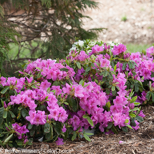 Bloom-A-Thon Lavender Azalea Shrub Covered in Flowers