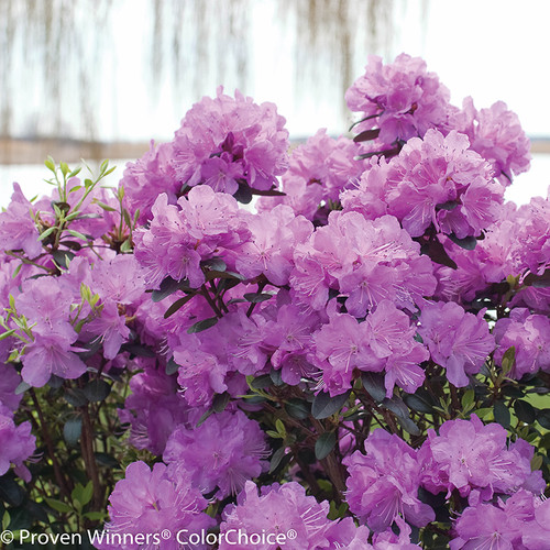 Amy Cotta Rhododendron Covered in Flowers