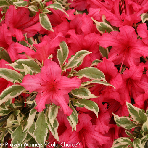 Bollywood Azalea Shrub Foliage and Flowers