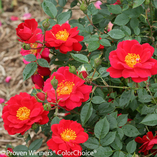 Oso Easy Urban Legend Rose Flowers and Foliage