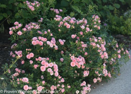Oso_Happy_Petit_Pink_Rose_Bush_Next_To_S