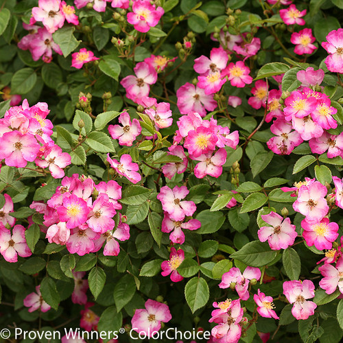 Oso Happy Smoothie Rose Shrub Flowers and Foliage