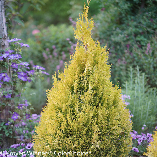 Fluffy Arborvitae Shrub