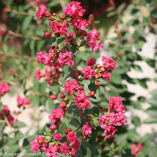 Infinitini Brite Pink Crape Myrtle Flowers and Buds