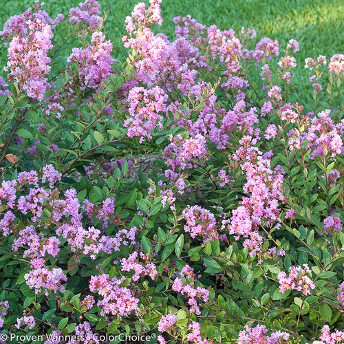 Infinitini Orchid Crape Myrtle Shrub Foliage and Flowers