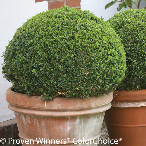 Sprinter Boxwood Shrub in Terracotta Pot