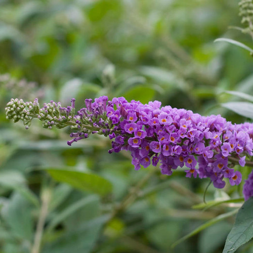 Lo & Behold Blue Chip Butterfly Bush Blooms Up close