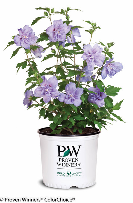 Blue Chiffon Rose Of Sharon Plant Addicts