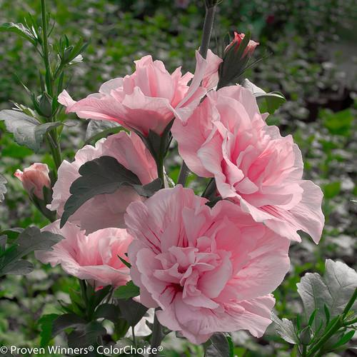 Pink Chiffon Rose of Sharon Flowers Blooming