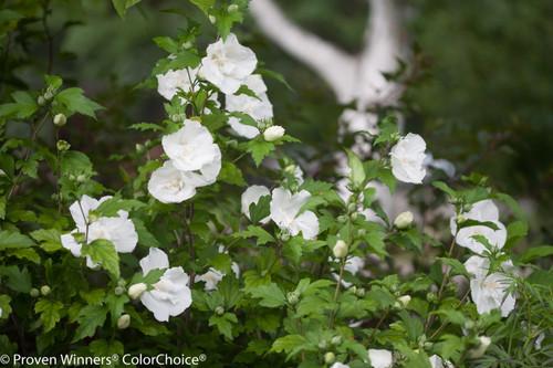 White Chiffon Rose Of Sharon Plant Addicts