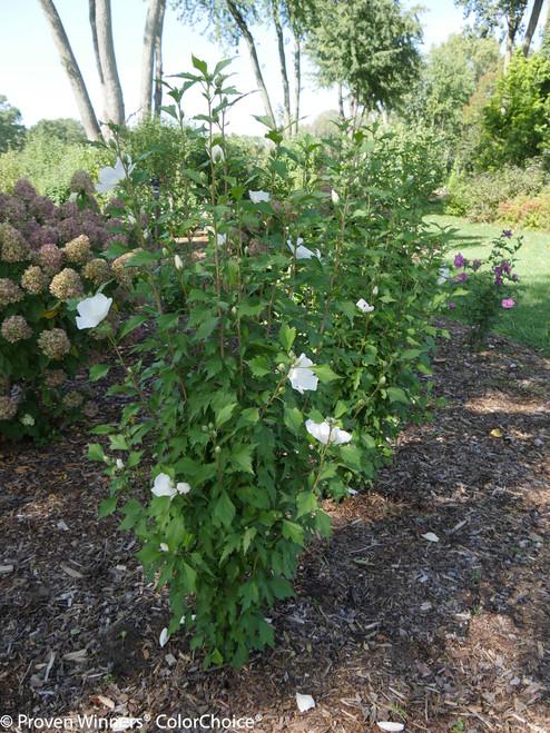 White Pillar Rose Of Sharon Plant Addicts