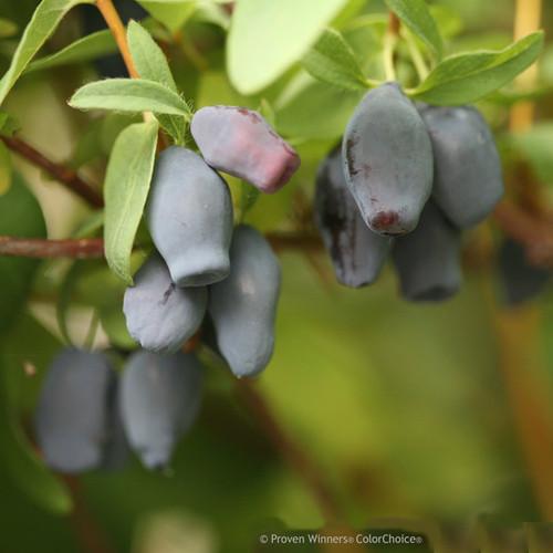 Yezberry Maxie Japanese Haskap Berries Up Close