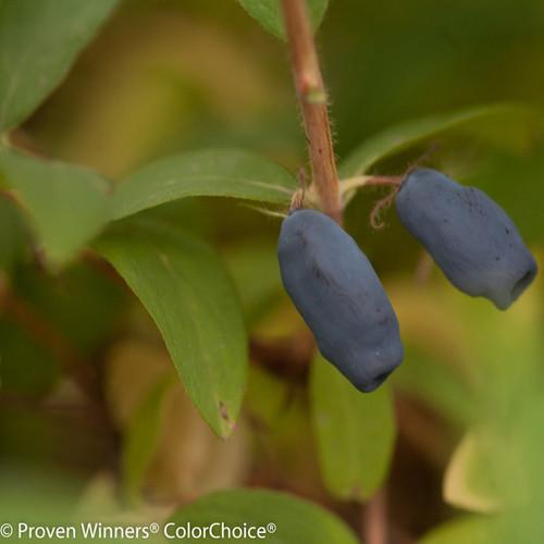 Sugar Mountain Blue Honeysuckle Berries Up Close