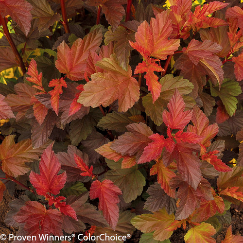 Coppertina Ninebark With Leaves Turning Red