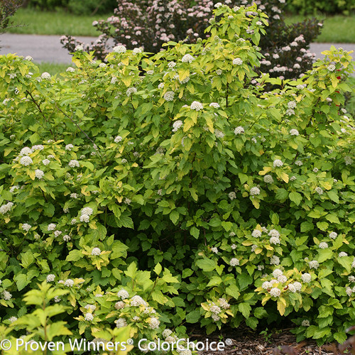 Festivus Gold Ninebark Bushes Blooming