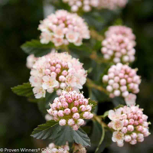 Tiny_Wine_Ninebark_Flower_Buds_and_Blooms