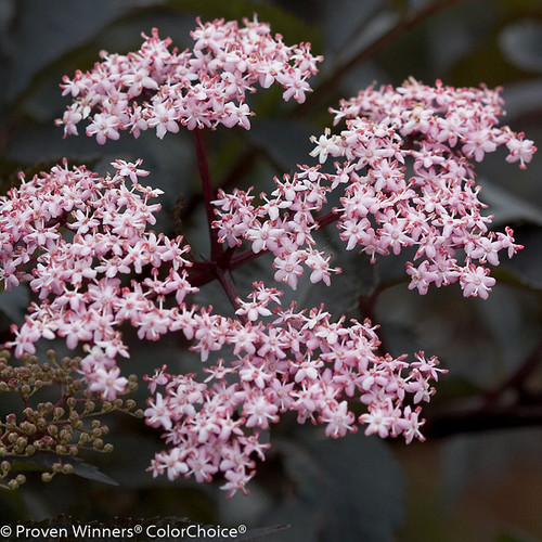 White and Pink Black Beauty Elderberry Flowers Close Up