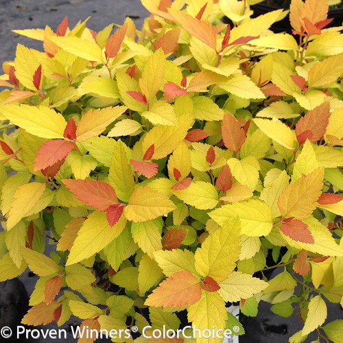 Double Play Candy Corn Spirea Yellow Flowers