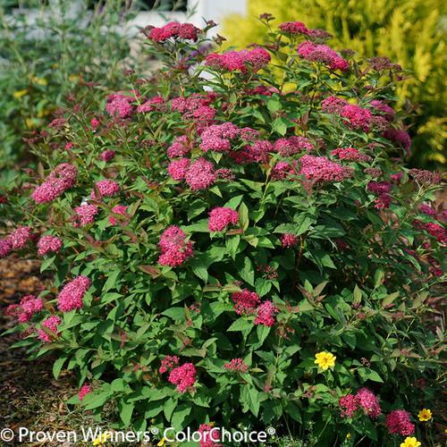 Double Play Doozie Spirea Bush Blooming