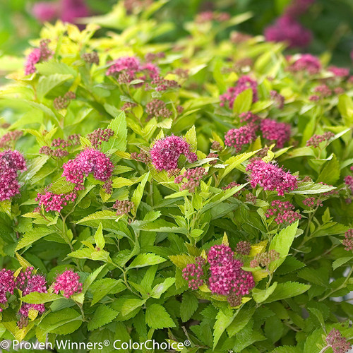 Double Play Gold Spirea Pink Flowers and Lime Green Leaves