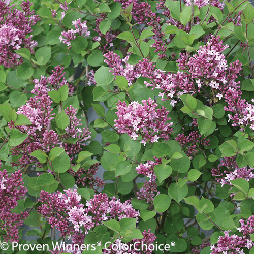 Bloomerang Dwarf Purple Lilac Flowers and Foliage