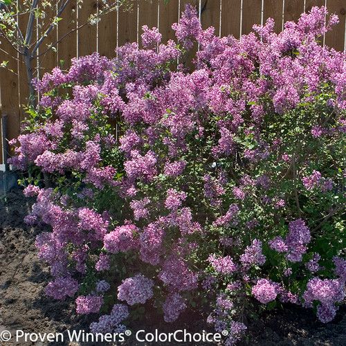 Bloomerang Purple Lilac in the Landscaping Next to Fence