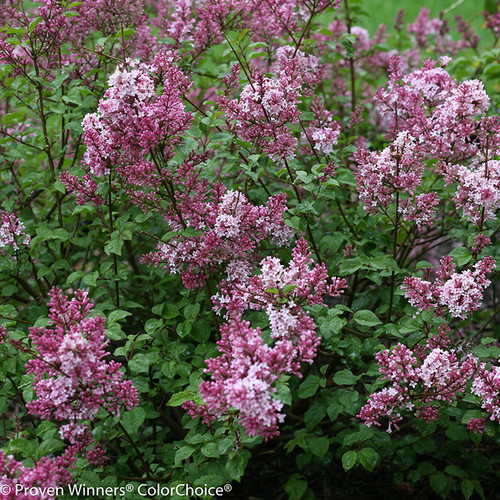 Scent And Sensibility Pink Lilac Shrub Blooming