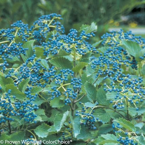 Blue Muffin Viburnum Shrub Covered in Berries