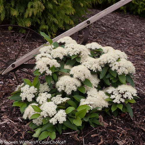 Lil Ditty Viburnum Shrub Covered in Blooms