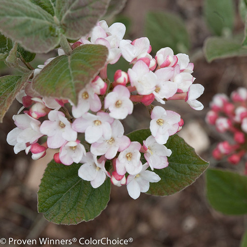Spice Girl Viburnum Shrub With White and Red Flowers