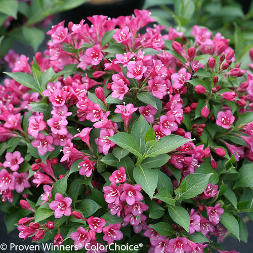Snippet Dark Pink Weigela With Pink Flowers and Green Leaves