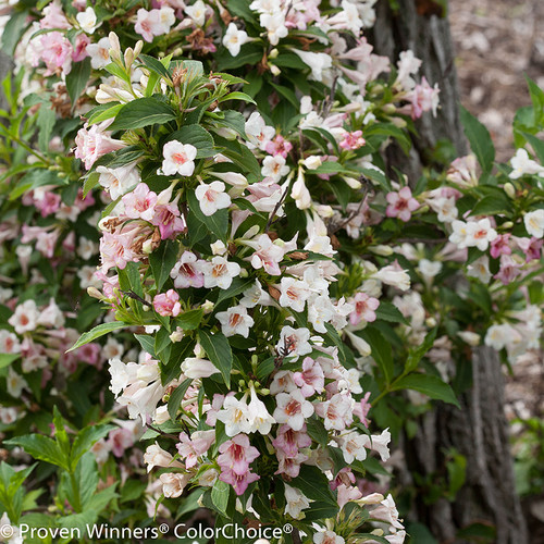 Sonic Bloom Pearl Weigela Shrub Branches Covered in Flowers