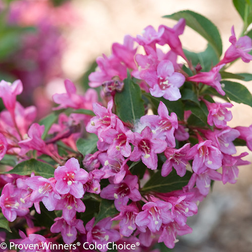 Pink Sonic Bloom Pink Weigela Flowers and Green Leaves