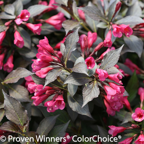 Wine and Roses® Weigela   Plant Addicts