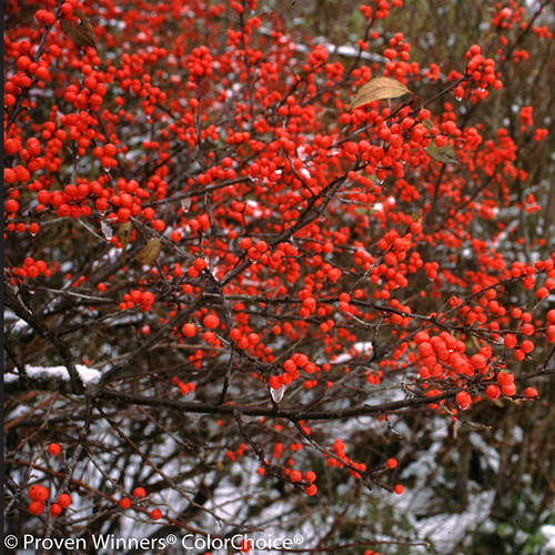 Berry Heavy Winterberry Holly Shrub Covered in Berries