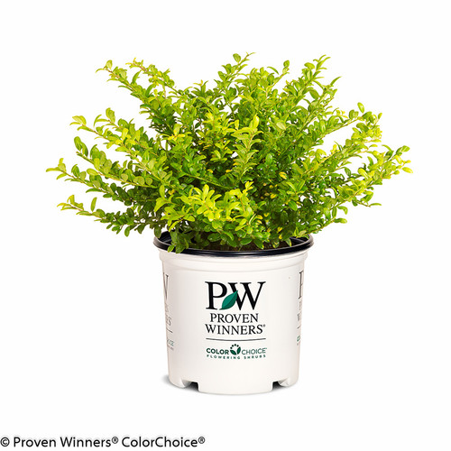 Brass Buckle Japanese Holly in Proven Winners Pot