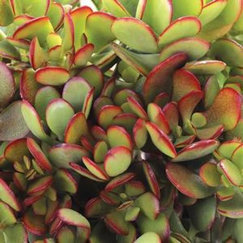 Baby Jade Plant Succulent