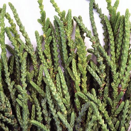 Watch Chain Succulent Plant Up Close