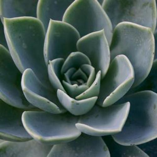 Blue Atoll Echeveria Succulent