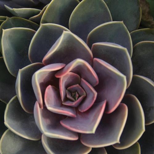 Perle von Nurnberg Echeveria Succulent Up Close