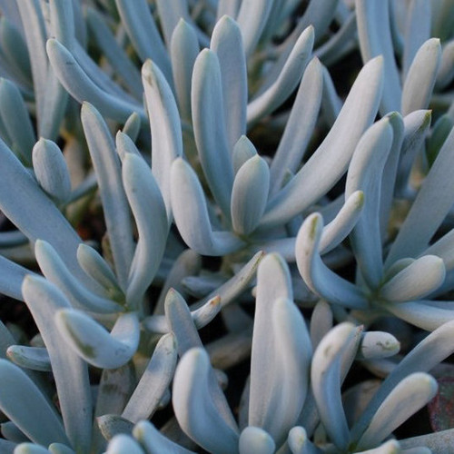 Compact Blue Chalksticks Succulent Up Close